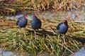 Purple swamp hens trio of standing on reeds Stock Image