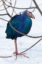 Purple Swamphen, Porphyrio porphyrio Stock Images