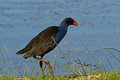 Purple swamphen porphyrio porphyrio feeding on edge of a lake in south western victoria Royalty Free Stock Photo