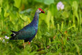 Purple Swamphen, Porphyrio porphyrio, in the nature green march habitat in Sri Lanka. Rare blue bird with red head in the water gr