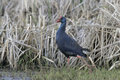 Purple swamphen purple gallinule porphyrio porphyrio spring spain Stock Photos