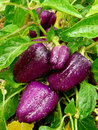 Purple sweet peppers ripening in a kitchen garden Stock Photo