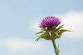 Purple thistle on blue sky closeup Stock Image
