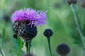 Purple Thistle Royalty Free Stock Photo