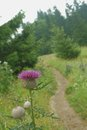 Purple thistle flower. Mountain paths. Royalty Free Stock Photo