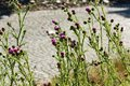 Purple thistle flowering in meadow Stock Photography