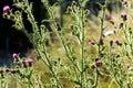 Purple thistle flowering in meadow Stock Photos
