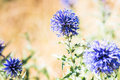 Purple Thistle Plant Royalty Free Stock Photo