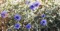 Purple Thistle Plant Royalty Free Stock Photo