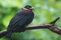 Purple throated fruitcrow the sitting on the branch Royalty Free Stock Image