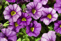 Purple Trailing Petunia Stock Images