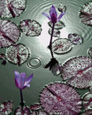 Purple tropical water lilies with water droplets Royalty Free Stock Photo