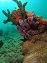 Purple Tube Sponge Royalty Free Stock Photo