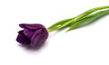 Purple tulip Royalty Free Stock Images