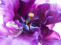 Purple tulip Royalty Free Stock Photo