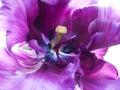 Purpurová tulipán