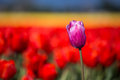 Purple tulip in a field Royalty Free Stock Photo