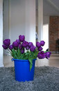 Purple tulips a blue bucket full of violet on grey carpet Stock Photo