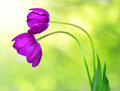 Purple tulips fresh on green background Stock Photos