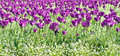 Purple tulips garden on a bright sunny spring day Royalty Free Stock Photography