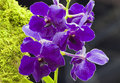 Purple Vanda hybrid Stock Photos