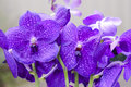 Purple Vanda Orchid Royalty Free Stock Photo