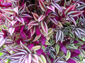 Purple variegated plant leaves Royalty Free Stock Photo