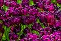 Purple velvet tulips Royalty Free Stock Photo