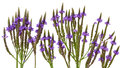 Vervain Verbena Royalty Free Stock Photo