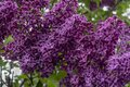 Purple lilac with green leaves. Closeup Royalty Free Stock Photo