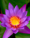 Purple Water Lily Stock Photos