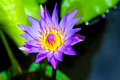 Purple water lily beautiful showy and fragrant tropical in full bloom Royalty Free Stock Photo