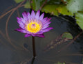 Purple water lily blossum is in pond Stock Photos
