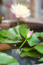 Purple water lily colorful of Royalty Free Stock Photo