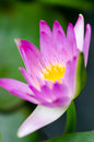 Purple water lily colorful of Royalty Free Stock Images