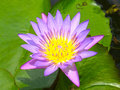 Purple water lily flower pond Stock Image