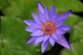 Purple Water Lily Flower. Royalty Free Stock Photo