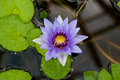 Purple Water Lily Flower Royalty Free Stock Photo