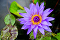 Purple water lily flowers and green leafs Royalty Free Stock Images