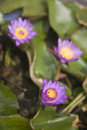 Purple water lily found in garden Stock Image