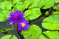 Purple water lily and leaf in pond lotus Stock Images