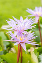 Purple water lily or lotus flower. Royalty Free Stock Photo