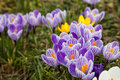 Purple and White Crocus Royalty Free Stock Photo