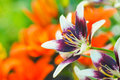 Purple and white lily flowers in the garden against the blurred green and orange background. Royalty Free Stock Photo