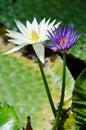 Purple And White Lotus Flowers
