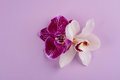 Purple and white orchids isolated on white background Royalty Free Stock Photo