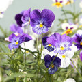 Purple and white pansies garden flowers Stock Photos
