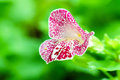 Purple white spotted mimulus monkey flower in garden Royalty Free Stock Photo