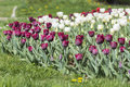Purple and white tulips in a spring garden Royalty Free Stock Photo