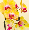 Purple, white, yellow orchid Stock Photography